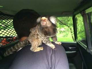 Driver crashes with monkey on his back