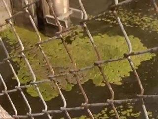 Lake O algae bloom has low levels of toxicity