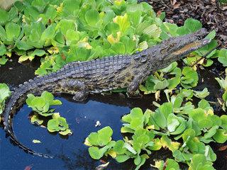 Killer Nile crocs in Florida? It's possible