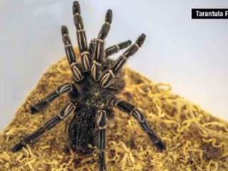 Tarantulas found on Dominican Republic flight