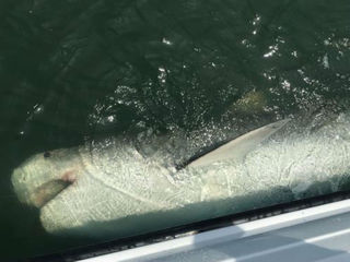 Shark caught for 2nd time by same fisherman