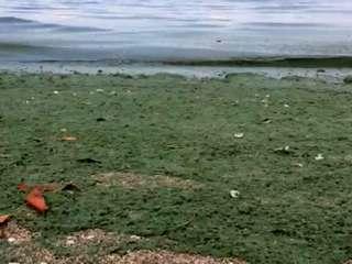 No swimming off Martin County because of algae
