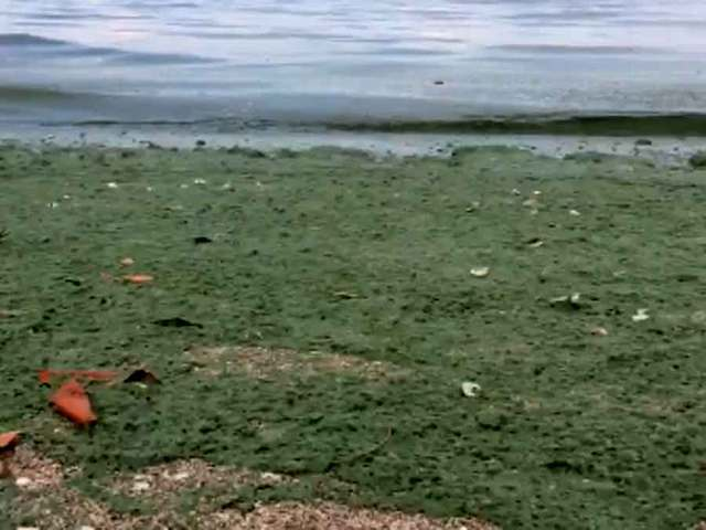 Emergency declared over algae in Martin, St. Lucie counties