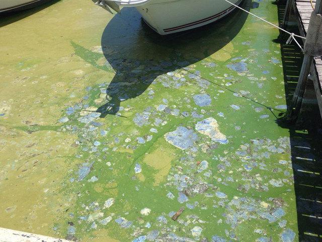 Martin Co. wants algae disaster declaration