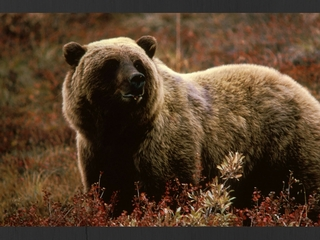 Grizzly kills bicyclist near Glacier Nat'l Park