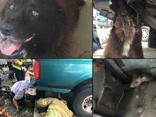 Mouse-chasing dog gets trapped under truck