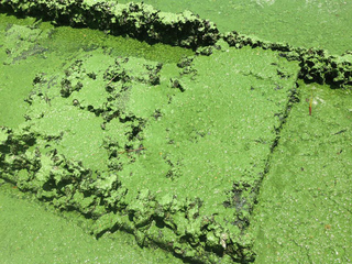 Some risk swimming in algae to make living
