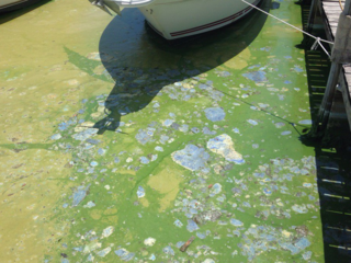 Algal bloom toxic at Martin County marina