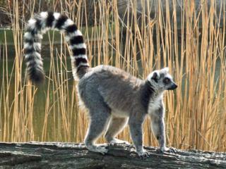 Lemur attacks woman outside South Florida home