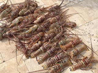 Lobster mini-season underway in Florida