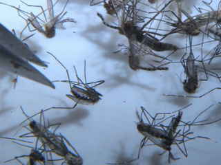 Zika fight may use bacteria-infected mosquitoes
