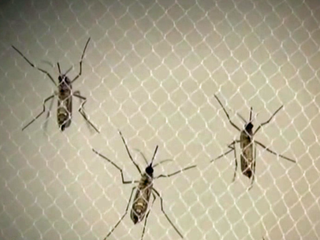 New batch of Zika-carrying mosquitoes in Miami