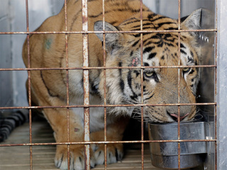 Tiger rescued from 'world's worst zoo' in Gaza