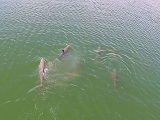 WATCH: Group of dolphins spotted in Tampa Bay