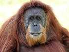 Orangutan dies after emergency surgery in Miami