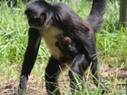 Rare spider monkey born at Palm Beach Zoo