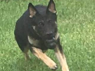 An injured Martin County K-9 is back in action