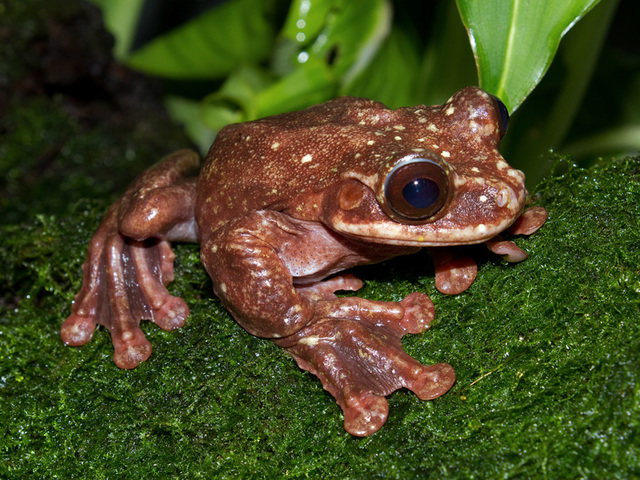 Tree frogs get added to extinct species list
