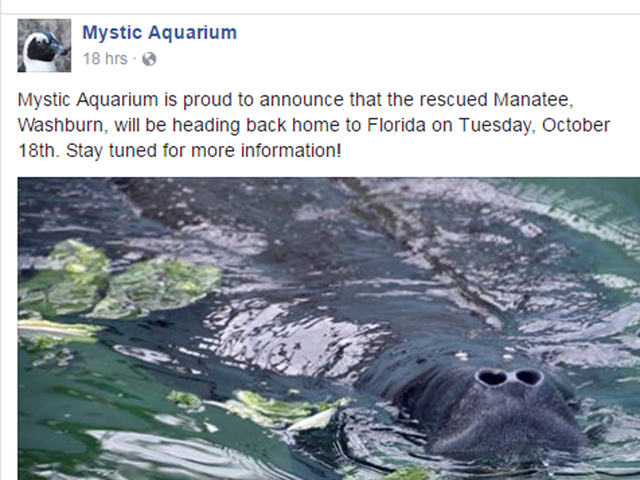 Pregnant manatee rescued off Cape Cod to be moved to ...