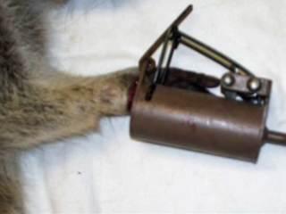 Trap found on raccoon in Boca illegal, inhumane