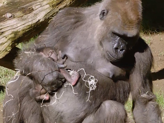 Gorilla shows off adorable 2-day-old baby