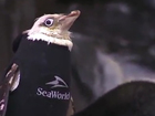 SeaWorld penguin gets customized wetsuit