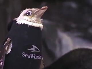 SeaWorld penguin gets customized wetsuit