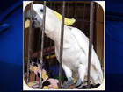Thieves make off with $8K pet parrot from home