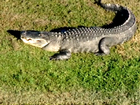 15-foot gator spotted sunbathing in Florida