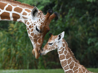 Zoo Miami celebrates birth of 50th giraffe