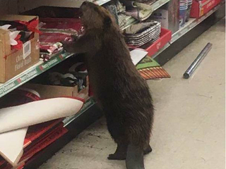 Eager beaver invades dollar store
