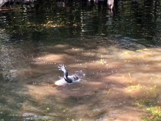 Python attacks alligator at Big Cypress