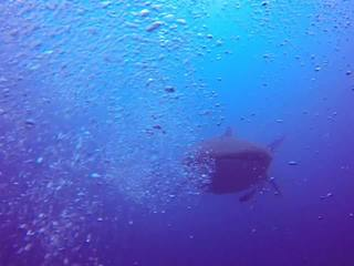 WATCH: Whale shark spotted off Jupiter