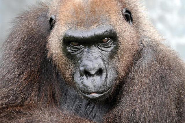Harambe-s grandmother dies at Zoo Miami