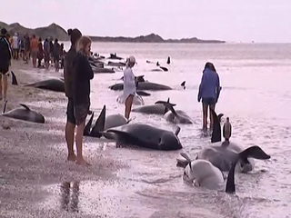 More than 200 whales swim away after stranding