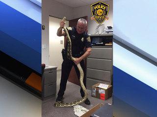 Davie police find 10-foot python