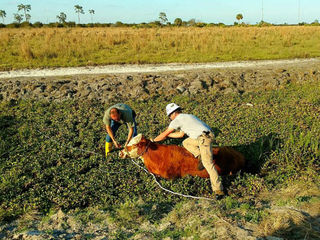 Martin County deputies rescue cow stuck in mud