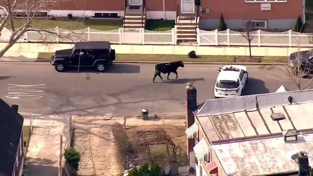 Runaway bull leads police on wild chase in NYC