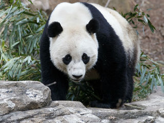 Panda cub Bao Bao says goodbye to U.S.