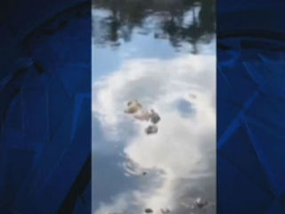 So. Fla. croc with dog in mouth caught on camera