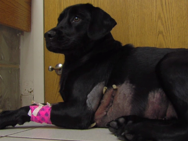 Veterinarians Amazed After Dog Escapes From Alligator