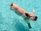 7 famous Bahamas swimming pigs found dead