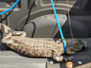 4-foot gator found napping under resident's car