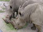 Rhino breeder plans auction of farmed horns