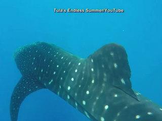 VIDEO: Divers encounter whale shark off Jupiter