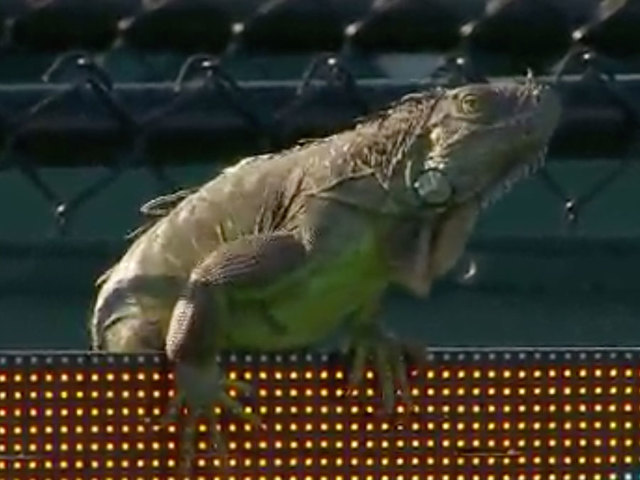 Iguana causes a racket at Miami Open for several minutes
