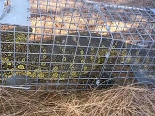 Nile monitor lizard trapped in Fla. neighborhood