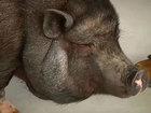 Smart swine: FL trainer says pig is bilingual
