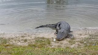 VIDEO: Hungry gator eats errant golf ball