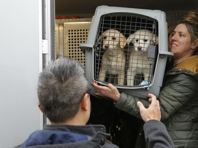 46 dogs- saved from slaughter- arrive in NY from South Korea